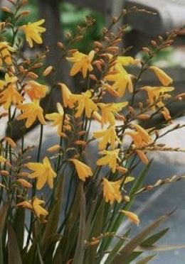 CROCOSMIA 'Gerbe D'Or'