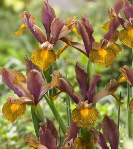 IRIS x hollandica 'Lion King'