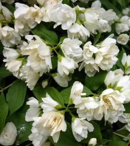 Morton nursery plants for the discerning gardener - Philadelphus manteau d hermine ...