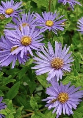 ASTER x frikartii 'Monch'