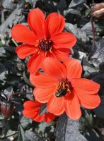 DAHLIA  'Mystic Enchantment'