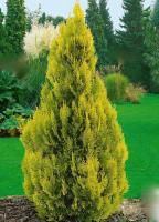 THUJA occidentalis 'Gold Anne'