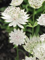 ASTRANTIA major  'Snow Star'