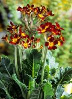 PRIMULA balmoral Oak Leaf Red