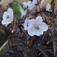 GERANIUM pratense 'Midnight Ghost'